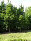 Emerald Queen Norway Maple trees for sale