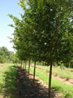 Frontier Elm trees for sale