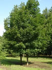 Green Mountain Sugar Maple trees for sale