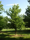 Hackberry trees for sale