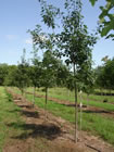 Red Oak trees for sale