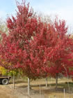 Red Sunset Maple trees for sale